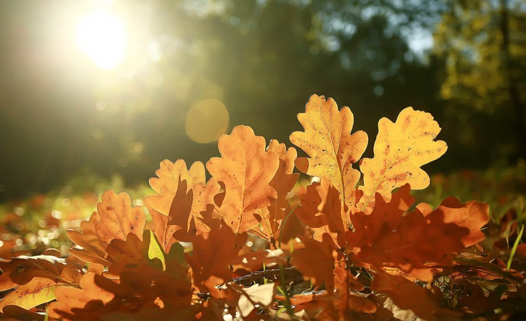 autumn landscape background with yellow leaves / sunny autumn day, the sun's rays at sunset in a beautiful yellow forest, fallen leaves, fall