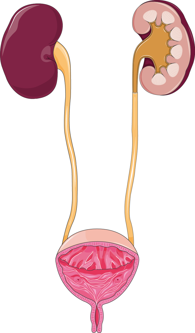 Urinary Tract System